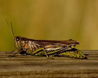 Grasshopper Closeup Print Grasshopper Picture Bug Print