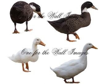 Duck overlay, png files 12 ducks in total