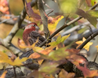 Male House Finch in Autumn Fine Art Photo - Songbird Photo - Wildlife Photography - Nature photography -Bird photos -Gifts for Nature Lovers