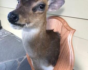 Muntjac or Barking Deer Shoulder Mount Rare Taxidermy