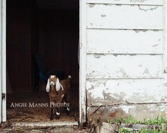 Goat Photograph, Farm Animal Photography, Baby Goat Photo, Rustic Home Decor