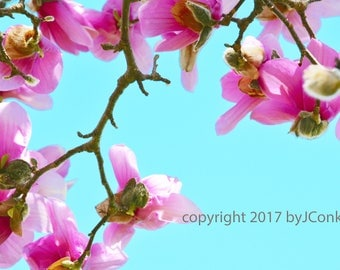 Tulip Tree Blossoms in Spring, photo print