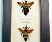 Rare Real Framed Bombus Bumble Bee Set 8068S