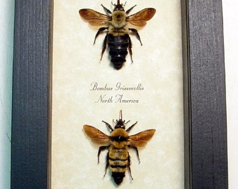Real Framed Rare Bombus Bumble Bee Set 8068S