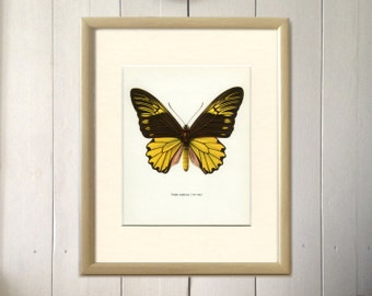 Vintage Butterfly Print, Malayan Birdwing, Troides amphyrysus, 1964/59, Lepidoptera, Frameable Art