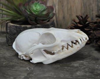 Real Beautiful Gray Fox Skull