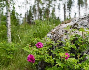 Fuchsia Flowers with Moss-Covered Rock & Birch Trees in Sweden - Landscape Fine Art Photography Print