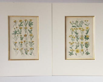 Pair of ENGLISH Handcolored Yellow Floral Engravings - Asters by James Sowerby (1757-1822) Matted in Gold Bevel and Off White Matting