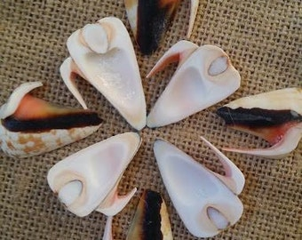 "Side Sliced Strawberry Strombus Conch Shell 1-1.5"" Tan Spiral Seashell, Arts and Crafts, Seashell Home Decor & Supplies, Sailor's Valentines"