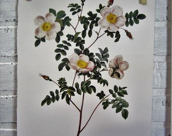 Redoutes Roses Book Page Plate Botanical Wall Art White Rosa Candolleana Elegans Rose
