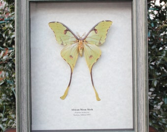 RARE Real African Luna Moon Moth framed insect bug Argema mimosae