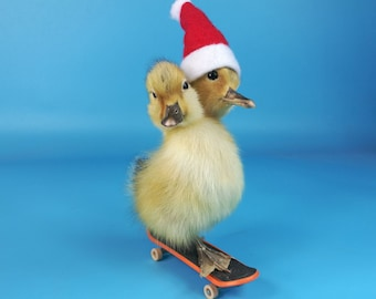 Mature,taxidermy of two head yellow freak duckling on skateboard.Home deco/Gift