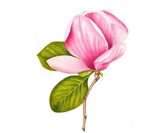 Flowering Pink Magnolia - Watercolor Painting