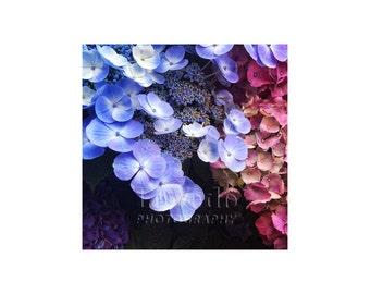 Paris Flower Market, Paris Photography, Purple Pink Hydrangea, Garden Art, Spring Flowers