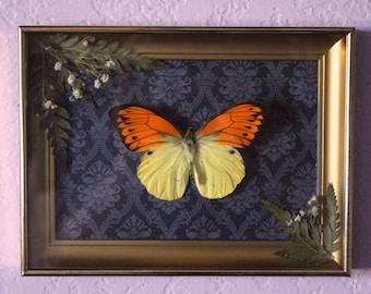 Butterfly / Frame