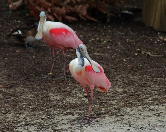 Roseate Spoonbill I (FREE shipping in the U.S. only)