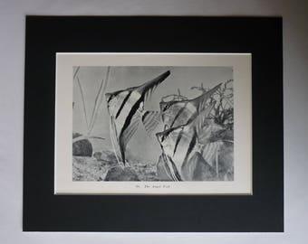 Antique Altum Angelfish Print, Freshwater Angel Fish Decor, Available Framed, Aquarium Art, Fishtank Gift, Pet Photography, Petshop Picture