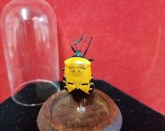 Taxidermy Entomology Catacanthus incarnatus Face Bug-beetle-insect-bug