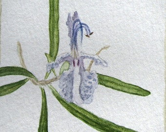 Rosemary Flower, Botanical Watercolour, Winsor & Newton on Fabriano Paper, Giclée Print or Original Paint
