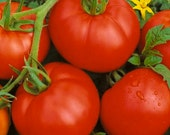 50 - Tomato Seeds - Bonny Best - Heirloom Tomato Seed, Bonny Best Tomatoes, Non-gmo Tomato Seed, Vegetable Seeds, Does Well in Cold Climates