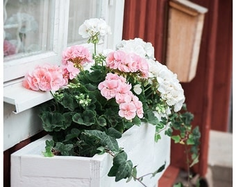 Geranium Print   Pink and White Blooms   in Flower Box   16x20, 20x24   Large Wall Art    16023.123