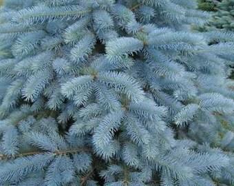 Blue spruce 5ml