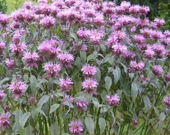 Mint Leaf Bee Balm (Monarda Fistulosa)* 25 Seeds