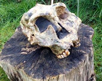 Australopithecus Robustus Skull Sculpture