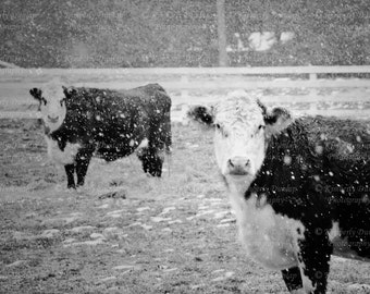 Cows in the Snow Print {Black and White Cow Art, Country Home Decor, Livestock Photography, Hereford Photograph, Farm Picture}