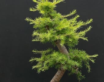BONSAI - European Larch