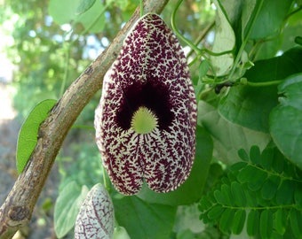 CALICO FLOWER  Aristolochia Elegans - 5 seeds