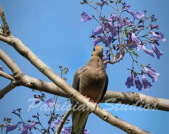 Mourning Dove and Jacaranda Blooms