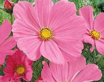 Pinkie Sensation Cosmos Flower Seeds / Annual / 35+