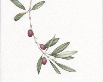 Original WATERCOLOR of OLIVE BRANCH . Botanical watercolor. Olives. Olive branch. Watercolor. Olives. Italy. Italian olive. Liguria.