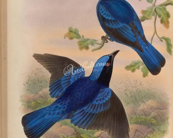 birds-15150 - Blue-mantled Fairy Bluebird, irena cyanogastra, Philippine fairy-bluebird, vintage printable picture jpeg from old book page