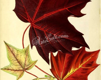 plants-14805 - acer platanoides rubrum, red maple, swamp water or soft maple leaves herbs botanical vintage printable color image picture