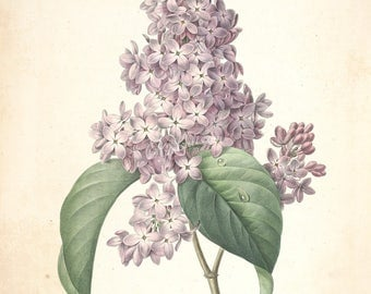 flowers-23938 - lily lilac vintage illustraton by Redoute P J from old plate book page ancient antique botanical purple public domain image