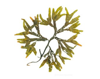 Seaweed (Fucus distichus No.1) -   12 x 12 photograph