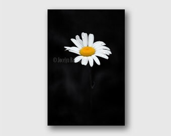 Big Daisy Flower on Black Wrapped Canvas Photo Wall Art