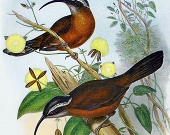"""Vintage BIRD Lithograph print with 8""""x10"""" mat, Ready to Frame, Orinthology, Natural History, Great Gift, Nature, Beautifully Illustrated"""
