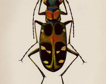 Gorgeous Antique Beetle Print Tiger Beetle Art Print Insect Gallery Wall Art Cottage Decor Cabin Decor  Plaindealing 2825