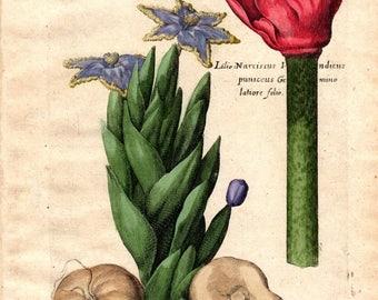 1719 Belladonna Vintage Botanical Print De Bry Color Copper Plate  CCLXXV Antique Botanical Print