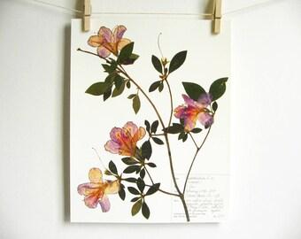 Azalea Print, #227b, pressed flower art botanical wall art southern flowers gift for gardeners herbarium  botanical print new orleans art