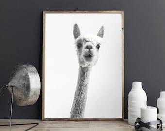 Alpaca Print, Giclee Print, Animal Poster, Llama Print, Black & White Photography, Fine Art Print, 8x10, 11x14, 16x20, 18x24, 24x30 Poster