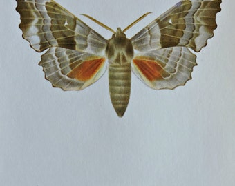 Vintage color book plate. Old print. Laothoe populi. Poplar hawk-moth. 1966 illustration. 8 x 10'1 inches or 20'5 x 26 cm.
