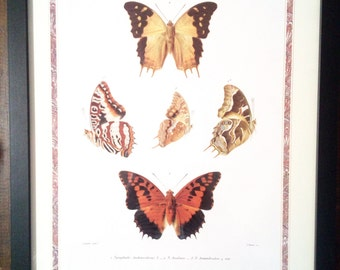 Original Butterfly Study Wall Art, Black Framed Butterfly Collection Vintage Poster, Print, Lepidoptera Taxidermy Study