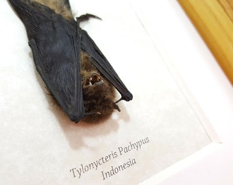 FREE SHIPPING Real Framed Lesser Bamboo Bat Tylonycteris Pachypus Taxidermy Mounted