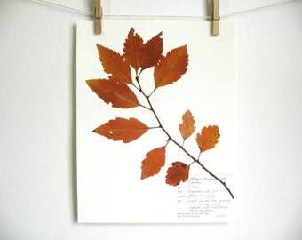 Black Hawthorn print, #220, fall leaves art autumn leaves oregon art pressed plant art pressed botanical wall art pacific northwest art