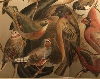 Bird Lithograph Print Germany 1909