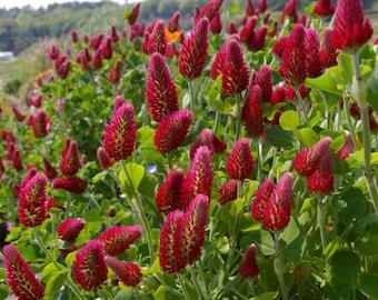Crimson Clover - Trifolium incarnatum (100 seeds)